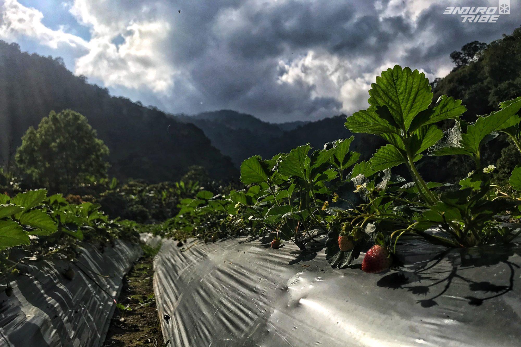 Le climat est suffisamment tempéré pour que les fraises puissent y pousser toute l'année